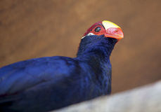 Violet turaco Royalty Free Stock Photography