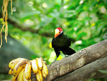 Violet Turaco bird Royalty Free Stock Image