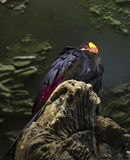 Violet turaco Royalty Free Stock Photo