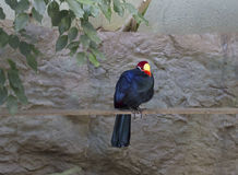 Violet Turaco Stock Photo
