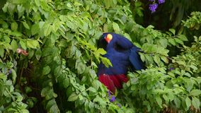 A violet turaco bird perched in a tree, also known as the violaceous plantain eater Musophaga violacea show its b. A violet turaco bird spreading its wings in a stock video footage