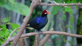 A violet turaco bird perched in a tree, also known as the violaceous plantain eater Musophaga violacea show its b. A violet turaco bird perched in a tree, also stock video footage
