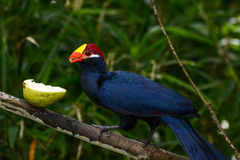 Violet turaco eating a juicy guava fruit, scientific name Musophaga violacea Royalty Free Stock Photos