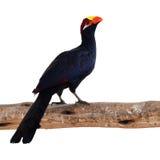 Violet Turaco fågel Royaltyfri Foto