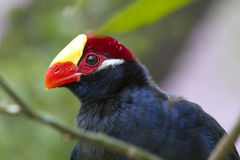 Violet Turaco - Musophaga violacea Stock Photography