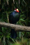 Violet turaco Musophaga violacea Royalty Free Stock Image