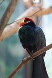 The violet Turaco (Musophaga violacea) Royalty Free Stock Photos