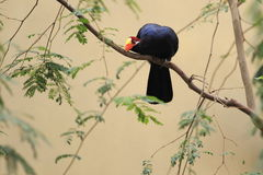 Violet turaco Royalty Free Stock Image