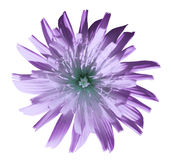 Violet-turquoise flower dandelion, garden flower, white isolated background with clipping path. Closeup. no shadows. Nature stock images