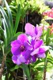 Violet Vanda orchid Stock Image