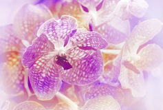 Violet vanda orchid in blur background Royalty Free Stock Photo