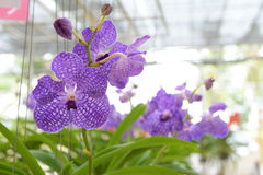Violet vanda orchid Stock Images
