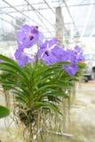 Violet vanda orchid Royalty Free Stock Photo