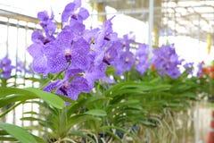 Violet vanda orchid Stock Photo