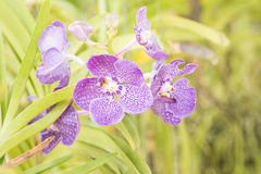 Violet vanda orchid flower hanging in plant nursery. Stock Photo
