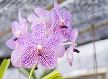 Violet vanda orchid flower hanging in plant nursery. Royalty Free Stock Image