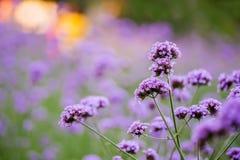 Violet verbena bonariensis in garden. Purple flower on blur colorful background Stock Image