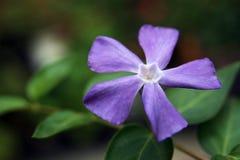 Violet Vinca Flower Macro. Blue or purple periwinkle or vinca minor five petal flower of genus Catharanthus on soft green background in natural light stock image