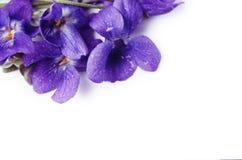 Violet Viola Flower púrpura contra el fondo blanco con el espacio para el texto foto de archivo libre de regalías