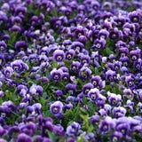 Violet Viola Flowers Stock Image