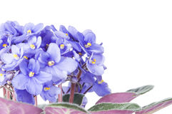 Violet viola flowers Royalty Free Stock Image