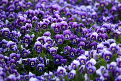 Violet Viola Flowers Royalty Free Stock Photos