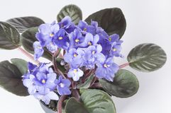 Violet viola flowers in a pot Stock Photography