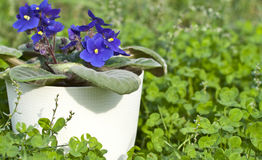 Violet viola flowers in a white pot on green Stock Photos