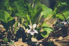 Violet Viola odorata blommar i direkt solljus i den soliga vårskoggläntan Fotografering för Bildbyråer