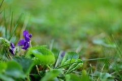 Violet - Viola Odorata. Or Blue Violet or Sweet Violet. In the nature royalty free stock photo