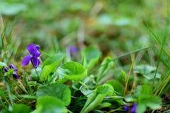 Violet - Viola Odorata. Or Blue Violet or Sweet Violet. In the nature royalty free stock photos