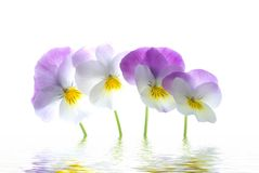 Violet viola tricolor Royalty Free Stock Photos