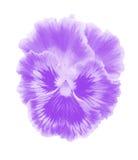 Violet  viola vector Stock Image