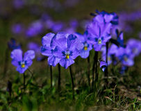 Violet violets Stock Photo