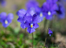 Violet violets Stock Photography