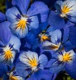 Violet violets Royalty Free Stock Photos