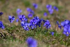 Violet violets Royalty Free Stock Photo