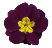 Violet violets flower white isolated background with clipping path. Closeup. no shadows. For design. Royalty Free Stock Photos