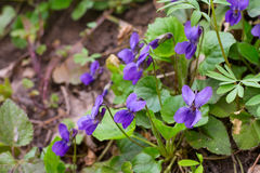 Violet violets flowers bloom in spring forest. Viola odorata Stock Photos