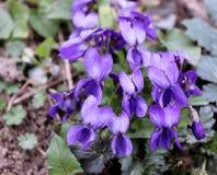Violet violets flowers bloom in the spring forest. Viola odorata. Selective focus. stock photos