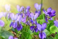 Violet violets flowers bloom in the spring forest. Viola odorata stock images