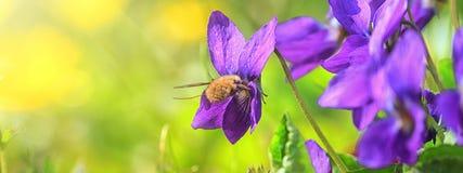 Violet violets flowers bloom in the spring forest. Viola odorata royalty free stock images