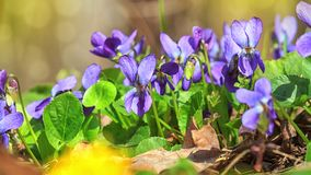 Violet violets flowers bloom in the spring forest. Viola odorata royalty free stock photos