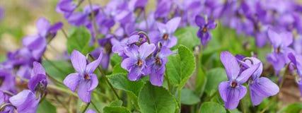Violet violets flowers bloom in the spring forest. Viola odorata stock photo