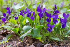 Violet violets flowers in the spring forest. Viola odorata Royalty Free Stock Photos