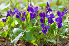 Violet violets flowers in the spring forest. Viola odorata Royalty Free Stock Photography