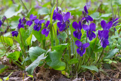 Violet violets flowers in the spring forest. Viola odorata Stock Photos