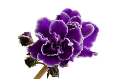 Violet violets isolated on the white. Background Royalty Free Stock Photo