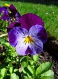 Violet viooltje Royalty-vrije Stock Afbeelding