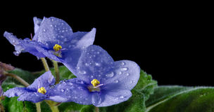 Violet with water drops Royalty Free Stock Photography